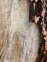 Hand-Splitting Maple For Mandolins