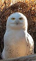 Click image for larger version.  Name:snowy owl.jpg Views:3 Size:10.4 KB ID:196522